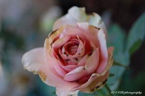 Pink Rose-Black Spots